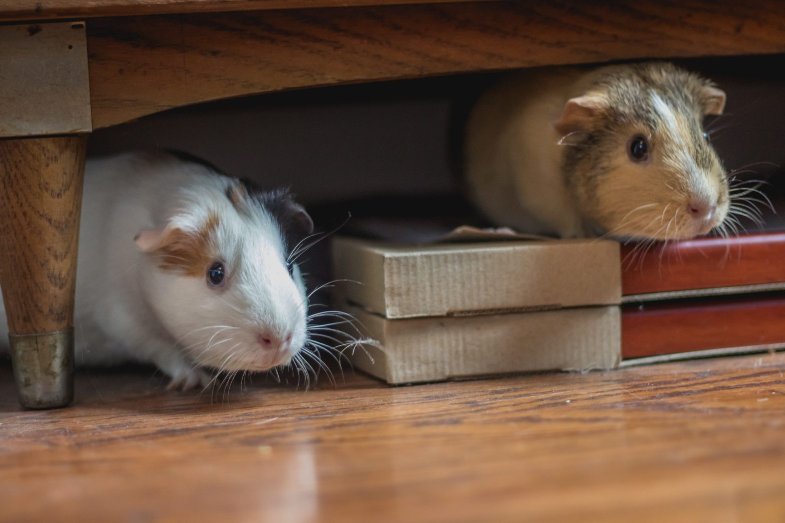 guinea pigs under furniture