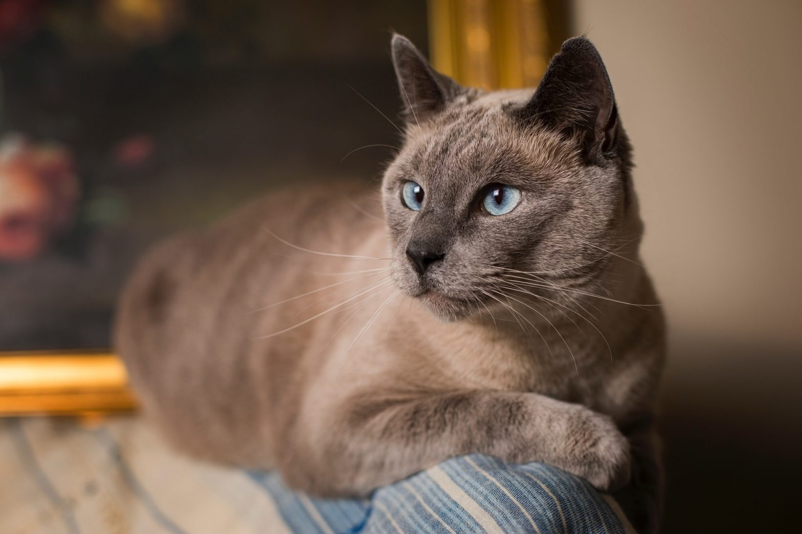 siamese cat - blue point